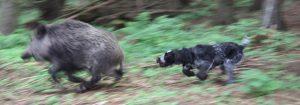 Jagdhund jagd Wildschweine