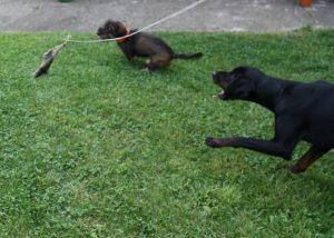 Jagdhunde jagen Sauschwarte an Reizangel