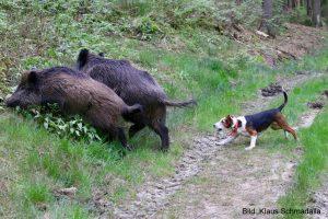 Bracke jagd Wildschweine