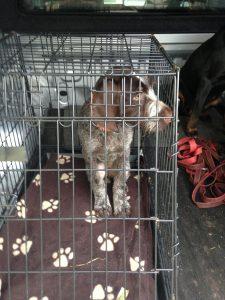Welpe Deutschdrahthaar in Hundebox für das Auto