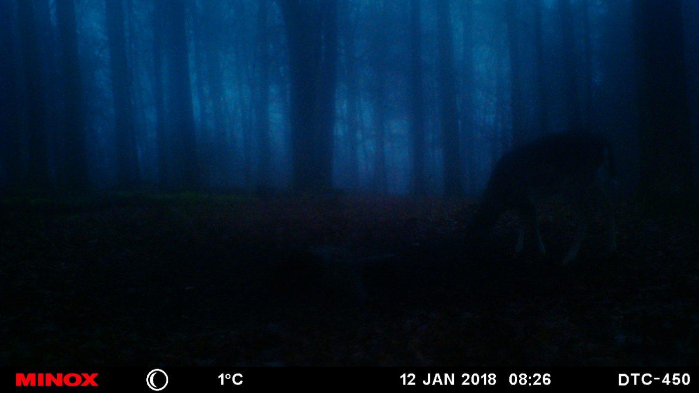 Muffelwild in der Nacht
